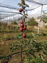 Մարտունի գյուղի խնձորի ինտենսիվ այգին տվել է իր առաջին բերքը